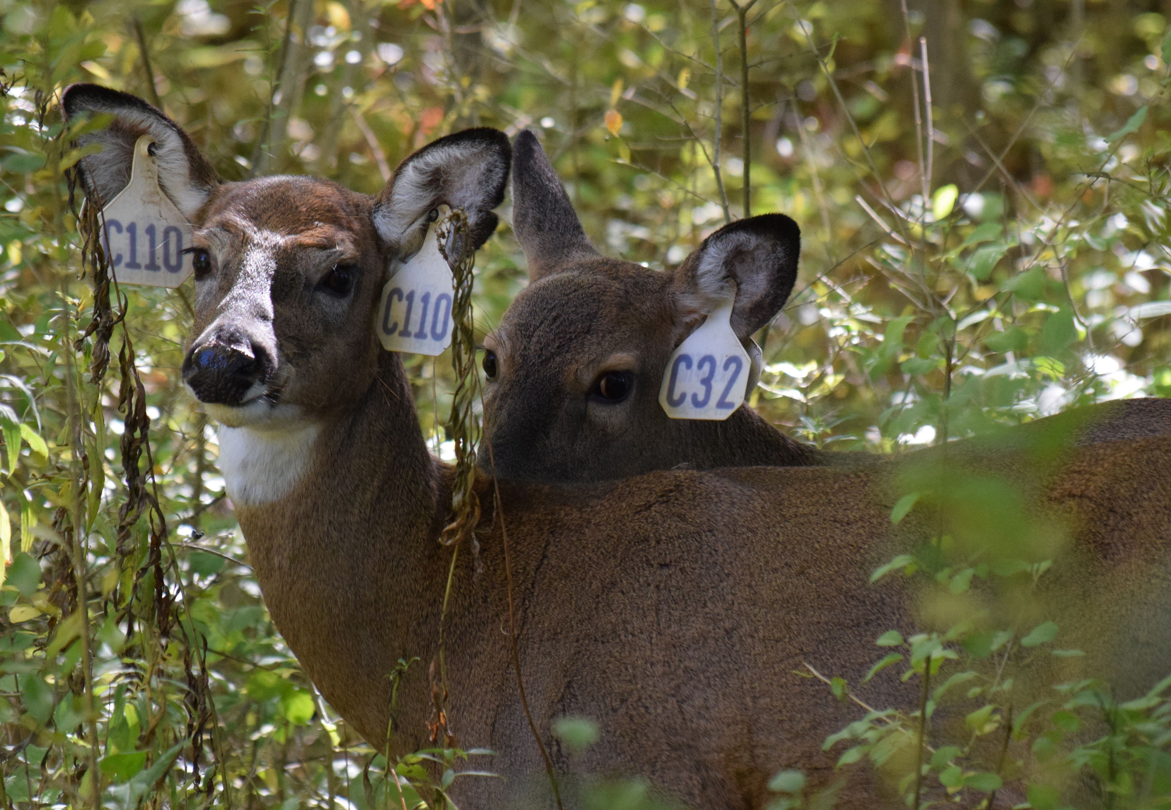 Cayuga Heights Deer- Photo by Amalex5 (CC By SA 4.0)