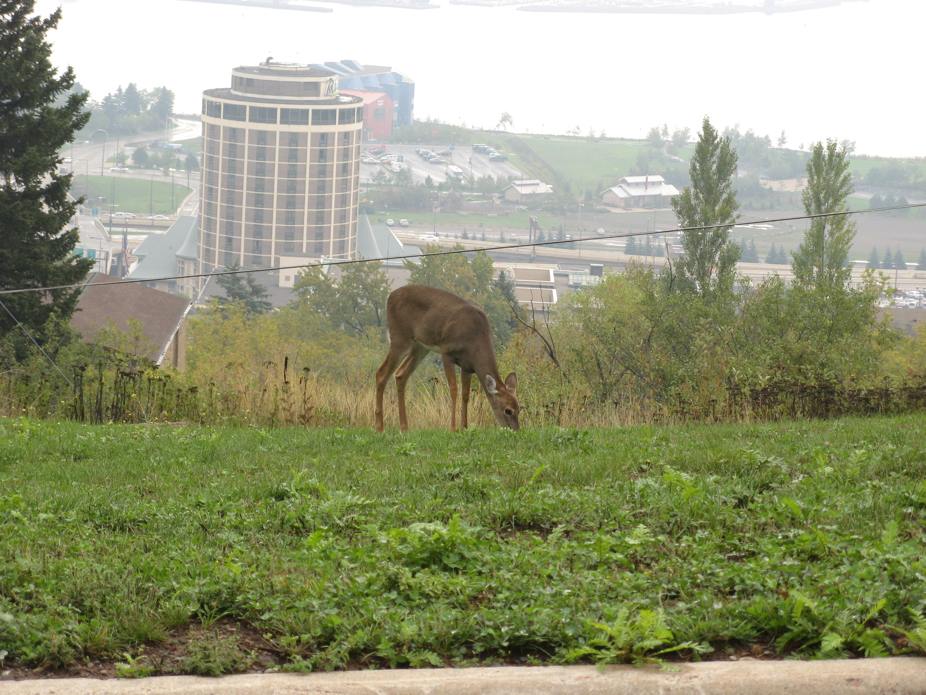 Deer browsing on hilltop above working harbor in Duluth, MN - Photo by Andrew O'Brian (CC BY-NC 2.0)